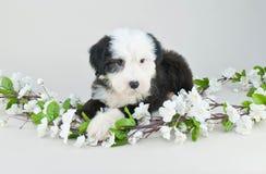 Fårhundvalp arkivfoton