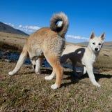 Fårhundvalpar royaltyfri fotografi