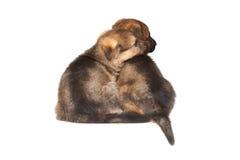 Fårhundvalpar arkivbild