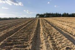 Fåror i plogat fält i vår Fotografering för Bildbyråer
