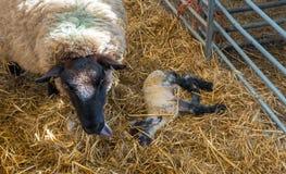 Fårtackan slickar hennes lamm, når den har givit födelse royaltyfria bilder