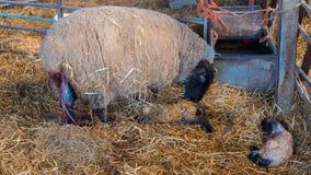 Fårtackan slickar hennes lamm, når den har givit födelse royaltyfria foton