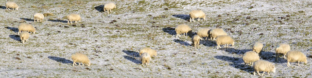 fårvinter Arkivfoto
