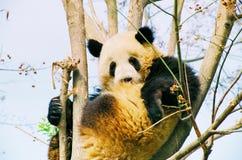 Fåtölj för panda Arkivfoto