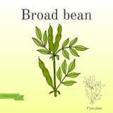 Fèves ou Fava Beans Série de légumes et d'ingrédients pour la cuisson illustration libre de droits