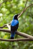 Fée-oiseau bleu asiatique Image stock