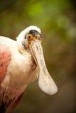 Féroce pour un oiseau photos libres de droits
