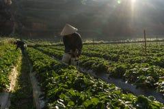 10, fév. Dalat- 2017 les femelles vietnamiennes moissonnant la fraise à leur ferme, sous la lumière du soleil, rayonne au fond Photos stock