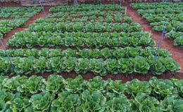 10, fév. Les agriculteurs 2017 de Dalat- Dalat plantent les choux dans DonDuong- Lamdong, Vietnam Photographie stock libre de droits