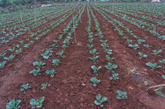 10, fév. Les agriculteurs 2017 de Dalat- Dalat plantent les choux dans DonDuong- Lamdong, Vietnam Image stock
