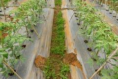 22, fév. 2017 plantes de tomate de Dalat- dans la maison verte, tomates fraîches Photographie stock