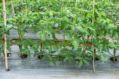 22, fév. 2017 plantes de tomate de Dalat- dans la maison verte, tomates fraîches Images stock
