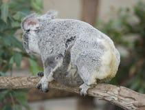 Fêmea adulta australiana de urso de Koala com bebê Fotografia de Stock Royalty Free