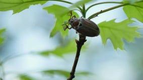 Fêmea adulta do besouro europeu que come a folha verde 4k do carvalho video estoque