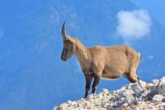 Fêmea alpina do íbex na montanha de Montagio Foto de Stock