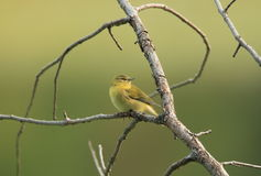 Fêmea americana do Goldfinch fotografia de stock