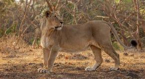 Fêmea asiática do leão Fotografia de Stock