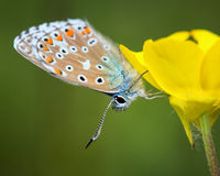 Fêmea azul comum (Polyommatus Ícaro) Imagens de Stock Royalty Free