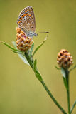 Fêmea azul comum (Polyommatus Ícaro) Fotos de Stock Royalty Free