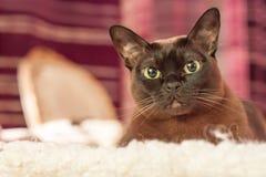 Fêmea burmese de Brown no tapete branco Fotos de Stock Royalty Free
