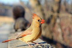 Fêmea cardinal Fotografia de Stock