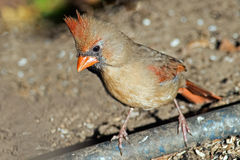 Fêmea cardinal do norte Imagens de Stock Royalty Free
