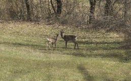 A fêmea com cervos de ovas cub nas montanhas imagem de stock royalty free