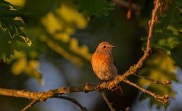 Fêmea comum de Redstart Imagens de Stock Royalty Free
