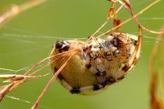 Fêmea da aranha do quadratus do Araneus Fotos de Stock