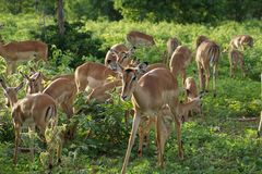 Fêmea da impala no arbusto Fotografia de Stock Royalty Free