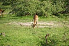 Fêmea da impala no arbusto Fotos de Stock