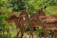 Fêmea da impala no arbusto Foto de Stock Royalty Free