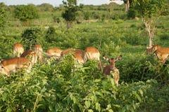 Fêmea da impala no arbusto Imagem de Stock