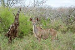 Fêmea de Kudu Fotos de Stock