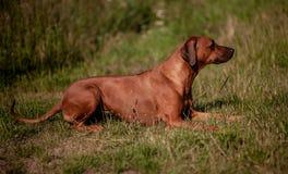 Fêmea de Rhodesian Ridgeback - persiga o encontro na grama imagens de stock