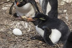 A fêmea de Rockhopper está chocando um ovo em seu ninho na ilha de Saunders, Falkland Islands fotografia de stock royalty free