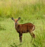 Fêmea de Waterbuck Imagens de Stock Royalty Free