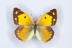 Fêmea do amarelo Clouded, borboleta do croceus de Colias imagem de stock