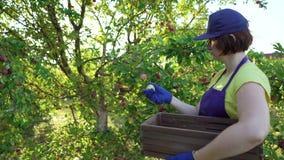 Fêmea do close up no avental azul e nas luvas de jardinagem que colhem maçãs no jardim do fruto video estoque