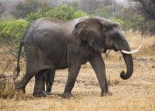 Fêmea do elefante Fotografia de Stock Royalty Free