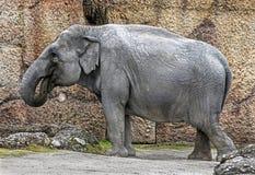 Fêmea do elefante asiático Imagem de Stock