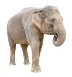 Fêmea do elefante asiático que diz o entalhe secreto Fotografia de Stock