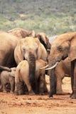 Fêmea do elefante com vitela Fotografia de Stock Royalty Free