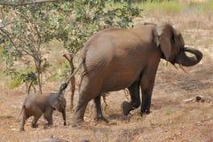 Fêmea do elefante com a vitela de 2 semanas. fotografia de stock royalty free