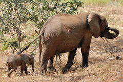 Fêmea do elefante com a vitela de 2 semanas imagens de stock