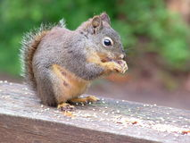 Fêmea do esquilo de Douglas Imagem de Stock Royalty Free