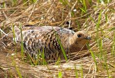 Fêmea do galo silvestre preto Imagem de Stock