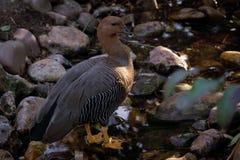 Fêmea do ganso do upland ou do ganso de Magellan imagens de stock royalty free