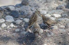 Fêmea do hispaniolensis espanhol do transmissor do pardal que alimenta a seus pintainhos fotos de stock royalty free
