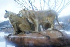 fêmea do leão na rocha Fotos de Stock Royalty Free